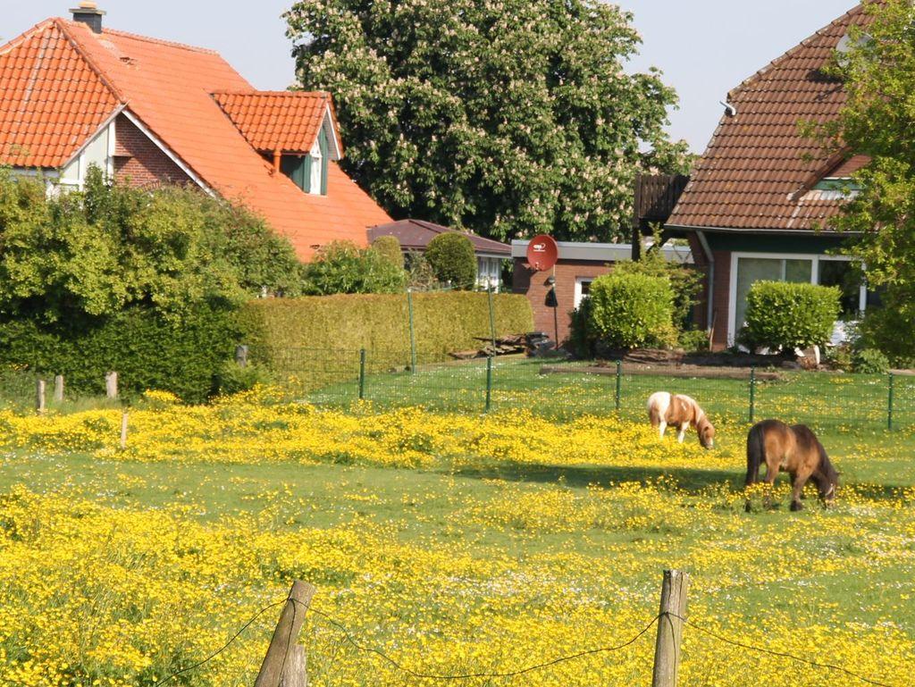 Gelb blühende Wiese auf der zwei Ponys weiden.