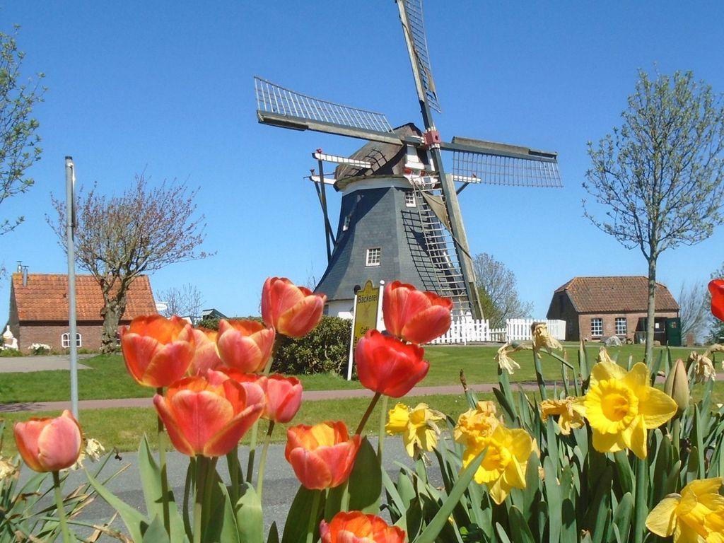 Tulpen im Vordergrund und die Werdumer Mühle vor strahlend blauem Himmel im Hintergrund