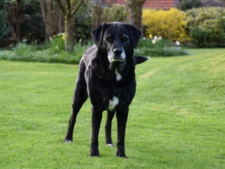 Schwarzer Hund steht auf dem Rasen