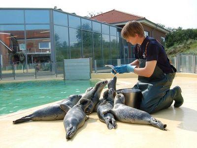 Seehunde werden gefüttert