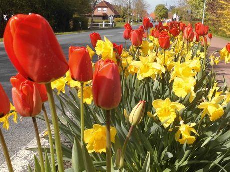 Tulpen und Narzissen an der Edenserloogerstraße
