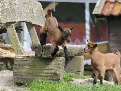 Zwei kleine Ziegen spielen auf einer Holzbank